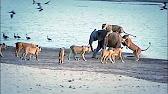 شاهد.. فيل يواجه 14 أسداً حاولت افتراسه - المواطن