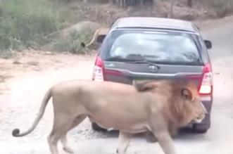 شاهد.. أسد يحاول الهجوم على سيارة تضم سياحا أثناء رحلة سفاري - المواطن