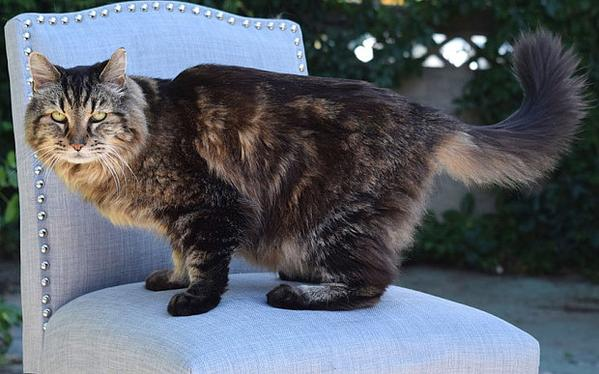 أكبر قط معمر في العالم