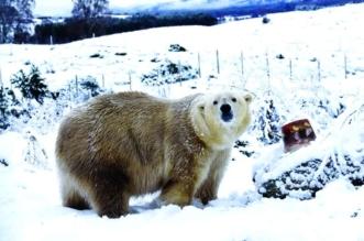 بعد ربع قرن من الغياب.. الدببة القطبية تعود للتكاثر في بريطانيا - المواطن