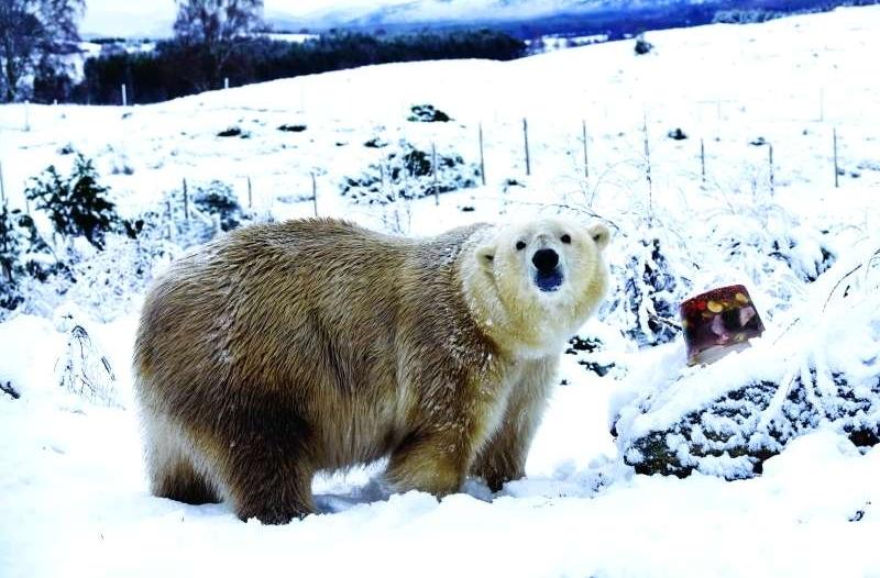 بعد ربع قرن من الغياب.. الدببة القطبية تعود للتكاثر في بريطانيا