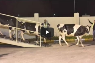 بالفيديو.. قطر تستورد البقر عبر الطائرات لتعويض نقص الحليب - المواطن