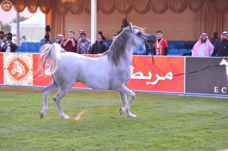 اختتام بطولة مركز الملك عبدالعزيز للخيل العربية الأصيلة 4
