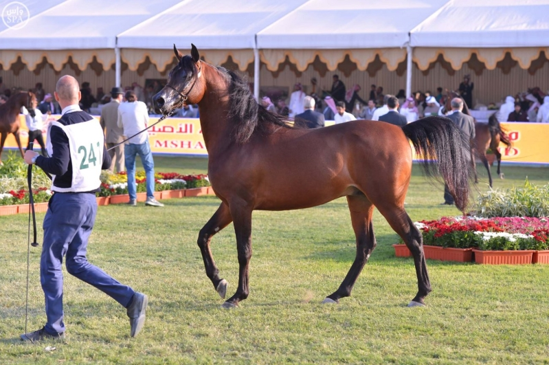 اختتام بطولة مركز الملك عبدالعزيز للخيل العربية الأصيلة9