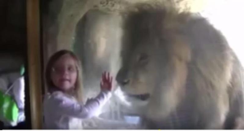 اسد - يهاجم - طفلة