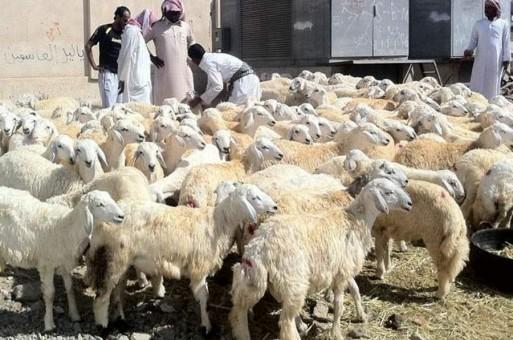 هنا شروط وضوابط إعانة صغار مُربي الماشية - المواطن