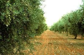 زراعة 4 ملايين شجرة في القصيم بحلول عام 2020م - المواطن