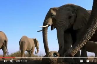 شاهد.. رد فعل أفيال اكتشفت كاميرا تجسس في الغابة - المواطن