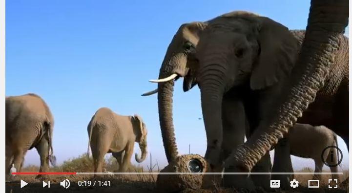 شاهد.. رد فعل أفيال اكتشفت كاميرا تجسس في الغابة