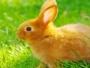 الأرانب قد تساهم بعلاج سرطان الدم