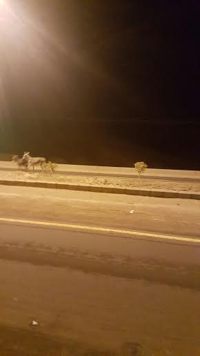 الحمير السائبة تهدد سالكي طريق سراة عبيد4
