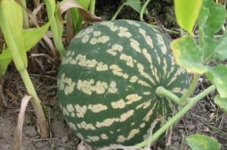 قد يسبب الوفاة.. ماذا تعرف عن نبات الحنظل فوائده واستخداماته؟ - المواطن
