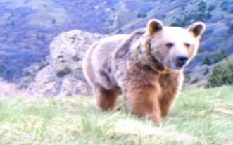 الدب اللبناني