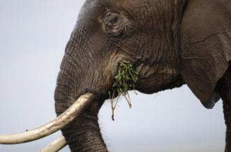 الصيد الجائر للأفيال في إفريقيا لا يزال مرتفعا - المواطن