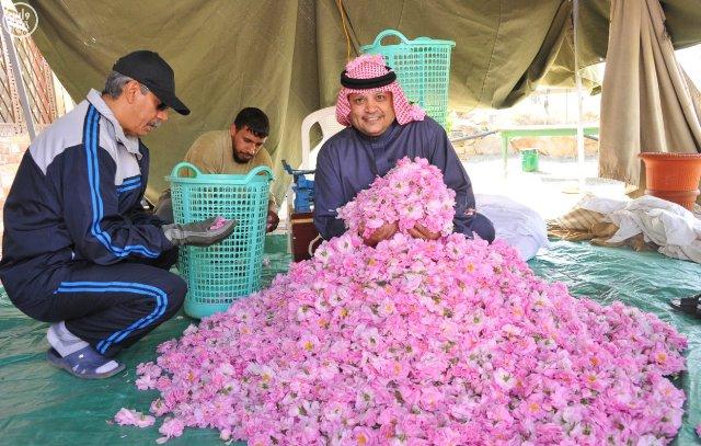 مزارع الطائف تفوح بعطر الورد