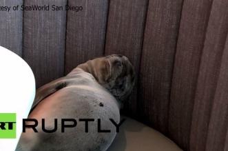 العثور على صغير أسد البحر في إحدى غرف مطعم مطل على الشاطئ