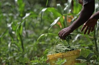 الفاصولياء الفائقة.. أمل إفريقيا لمواجهة الجفاف والجوع - المواطن