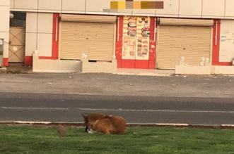 بالصور.. الكلاب الضالَّة تتنزه في حدائق المسيجيد وتطرد البشر خارجها! - المواطن