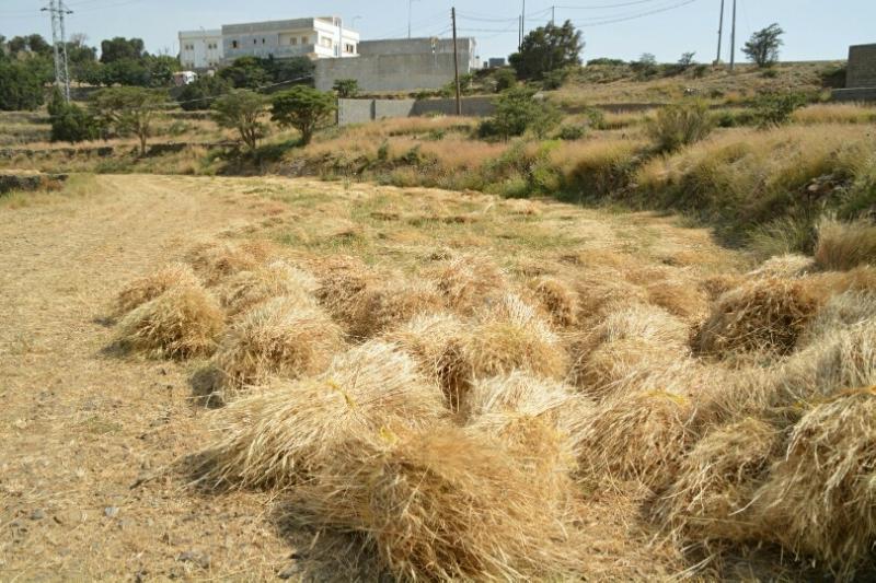 المواطن توثِّق فرحة مزارعي عسير بحصاد القمح (1)
