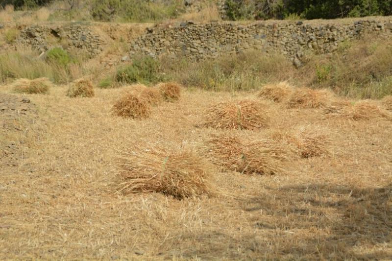 المواطن توثِّق فرحة مزارعي عسير بحصاد القمح (346807413) 
