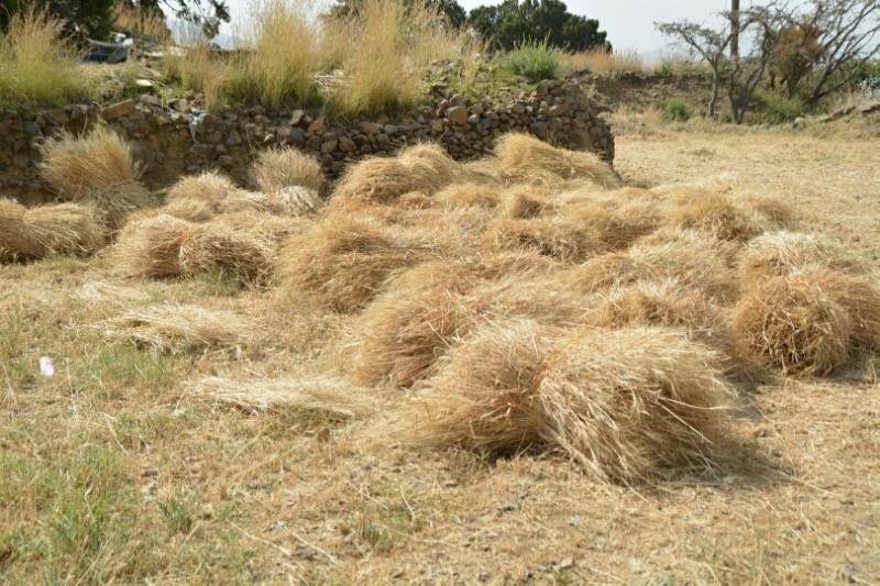 المواطن توثِّق فرحة مزارعي عسير بحصاد القمح (346807414) 