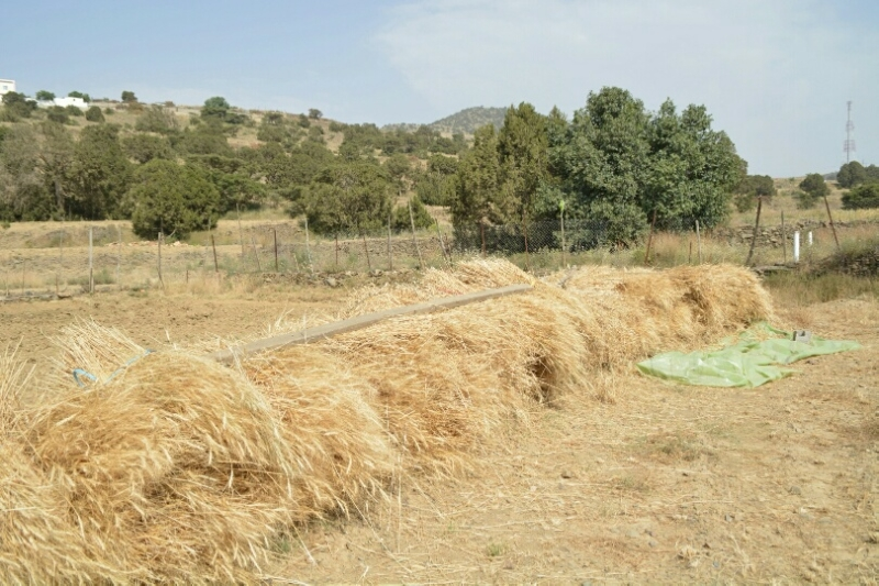 المواطن توثِّق فرحة مزارعي عسير بحصاد القمح (346807415) 