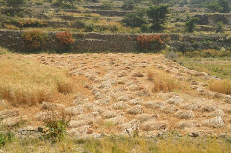 المواطن توثِّق فرحة مزارعي عسير بحصاد القمح (346807416) 