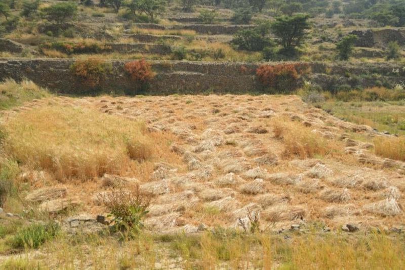المواطن توثِّق فرحة مزارعي عسير بحصاد القمح (346807417) 