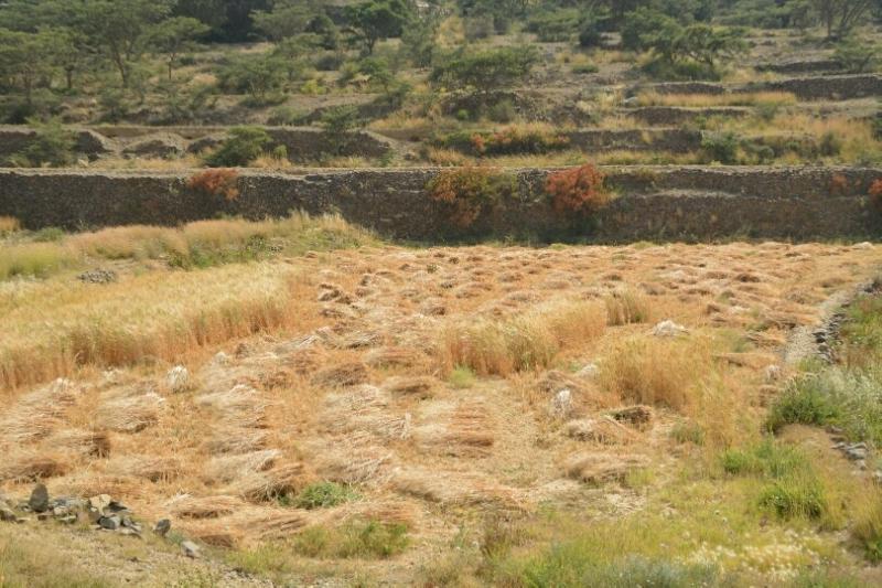 المواطن توثِّق فرحة مزارعي عسير بحصاد القمح (346807420) 