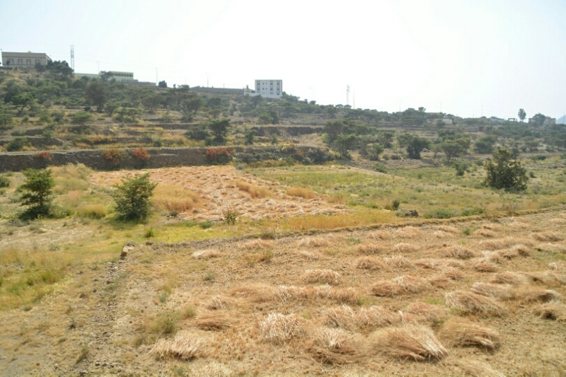 المواطن توثِّق فرحة مزارعي عسير بحصاد القمح (346807421) 