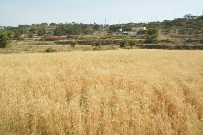 المواطن توثِّق فرحة مزارعي عسير بحصاد القمح (346807424) 