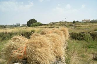 الحبوب تصرف مستحقات الدفعة الـ11 لمزارعي القمح المحلي - المواطن