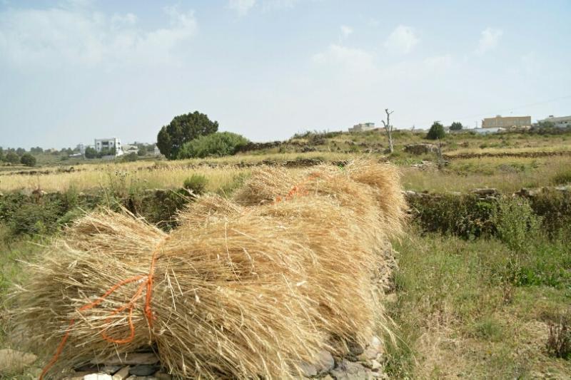 المواطن توثِّق فرحة مزارعي عسير بحصاد القمح (346807427) 