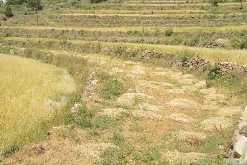 المواطن توثِّق فرحة مزارعي عسير بحصاد القمح (346807428) 