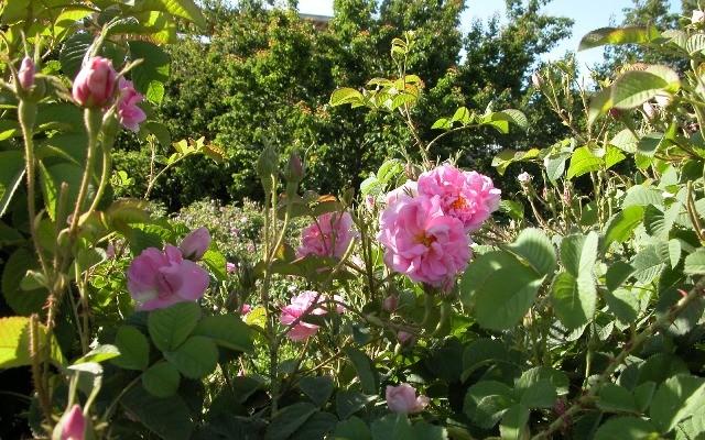 الورد (2)