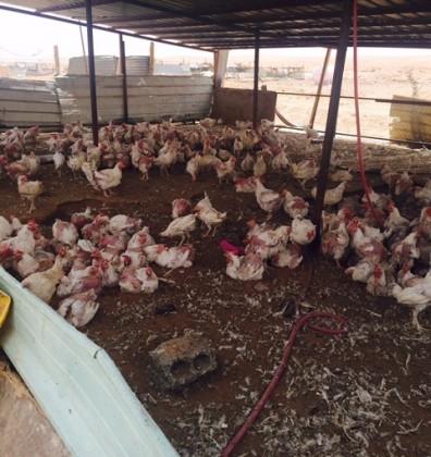 امانة-الرياض-تضبط-محل-تربية-دجاج