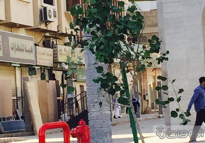 امانة الطائف تزرع اشجار الفواكه في احواض الجرانيت (10)