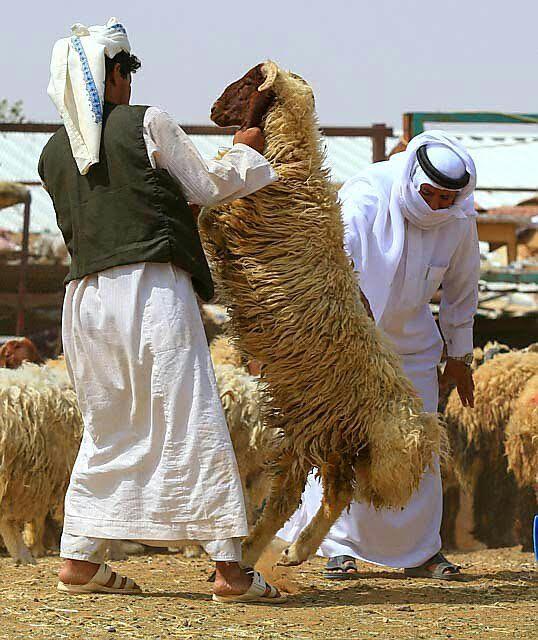 امانة منطقة الرياض تحذر من أساليب غش الأضاحي (386262765) 