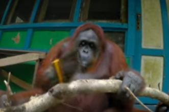 انثى القرد