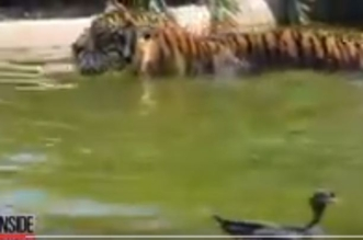 بالفيديو.. أشجع بطة تواجه نمراً في حمام السباحة - المواطن