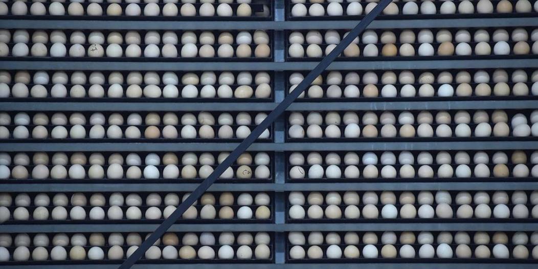 البيئة : استيراد بيض المائدة للقضاء على الممارسات السلبية