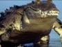 عثر على التمساح الذي يبلغ طوله 9 أقدام و3 إنشات قرب بوابة مدخل قاعدة اميركية