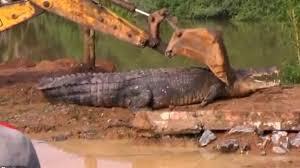 تمساح عملاق