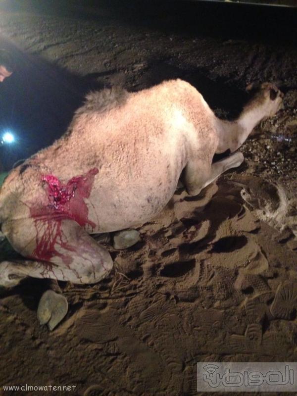 جمل سائب يصيب 3 شبان في حادثة اصطدام بالطائف (1)