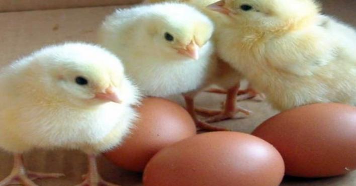 حظر استيراد بيض التفقيس والصيصان من إيطاليا