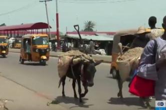 شاهد.. حمير نيجيريا مهددة بالانقراض بعد تزايد الطلب الصيني عليها - المواطن