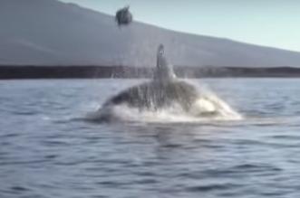 شاهد.. حوت يقذف سلحفاة بحرية فوق المياه ويصدم السياح - المواطن