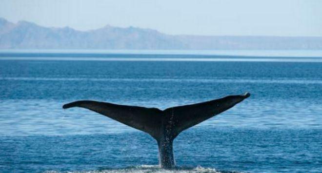 حيتان-مهددة-بالانقراض (1)