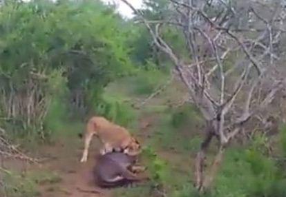 حيوان يتظاهر بالموت