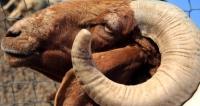 خروف-رقيب